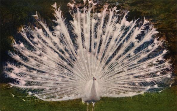 Postcard albino peacock