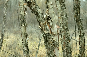 River-Birch-Trees-Shellie-Lewis-2014-WEB