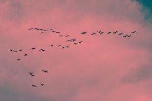 Sandhill-Cranes-Shellie-Lewis-2014-01-WEB