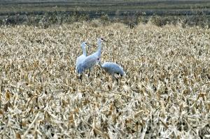 Sandhill-Cranes-Shellie-Lewis-2014-05-WEB