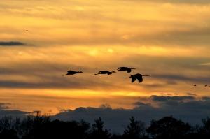 Sandhill Cranes Shellie Lewis 2014 08 WEB