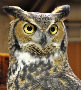 Great-horned-owl-22-WEB