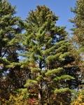 pretty pine tree