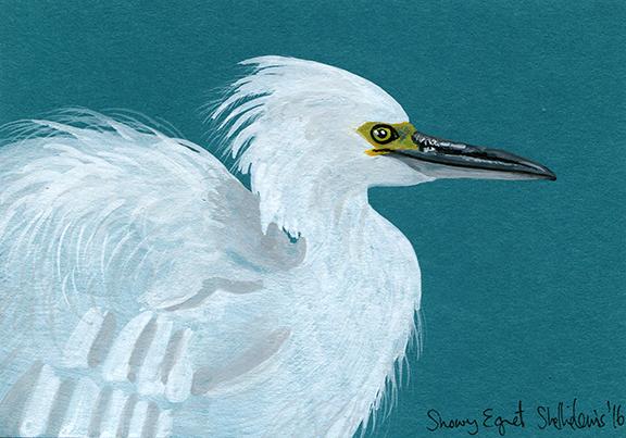 Snowy Egret 3-5by4-7-8 2016 web